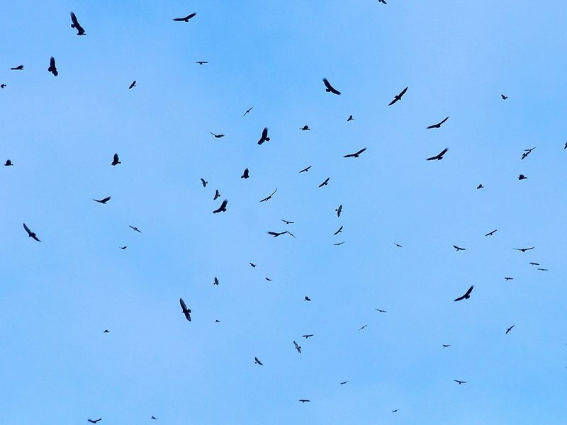 Vultues